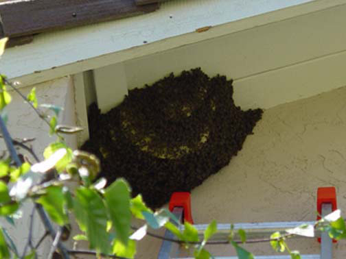 Bee Removal San Pedro This is a 