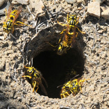 Yellow Jacket Removal Long Beach CA